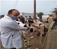 «بيطري الغربية»: الكشف على الحيوانات المترددة بـ«سوق مواشي طنطا»