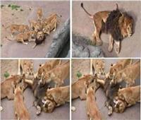 مقتل «ملك الغابة» علي يد زوجاته |فيديو