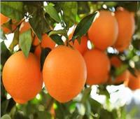 الزراعة: مصر الأولى عالميا في تصدير البرتقال  للعام الثالث على التوالي