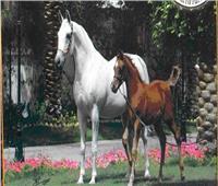 7 إجراءات بمحطة الزهراء للخيول لحمايتها من الموجة الحارة