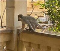 ظاهرة منتشرة.. أول تعليق من «حديقة الحيوان» على غزو القرود لحدائق الأهرام