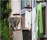 القرود تقتحم المنازل وتهدد سكان حدائق الأهرامات | شاهد