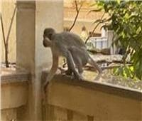 بعد انتشار «نسانيس حدائق الأهرامات».. ننشر عقوبة تربية الحيوانات الشرسة بالمنزل