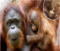 فرحة عارمة بمولود قرد «الاورانجوتان» المهدد بالإنقراض | صور