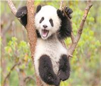 حديقة أمريكية تحتفل بمولود الباندا المعجزة