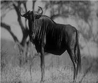 غرائب حديقة الحيوان.. ذكر «التياتل» يضرب زوجته بسبب «قبلة»
