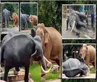 منافسة على الحب.. «خناقة أفيال» تزعج زوار حديقة حيوان بتايلاند| صور