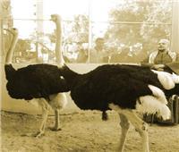قصة بيع دهن النعام بحديقة الحيوان لعلاج الروماتيزم