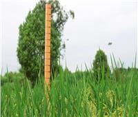 زراعة ناجحة لـ«أرز عملاق» بارتفاع مترين في منطقة دازو بمدينة تشونغتشينغ