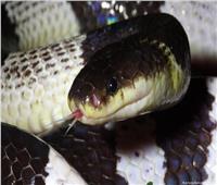 باحثون: سم الثعابين يحد من فيروس كورونا