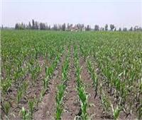 بالانفوجراف| توصيات للمزارعين لضمان الحصول على تقاوي عالية الجودة