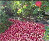 موسم حصاد الرمان «الذهب الأحمر»..الحرارة أنهكت المحصول