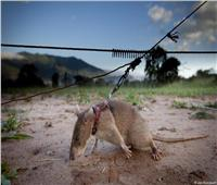 وظيفة جديدة للفأر البني في تنزانيا.. لن تصدق ما هى