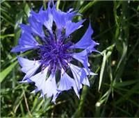 فوائد نبات قنطريون عنبري المذهلة.. يعالج الحمى والإمساك