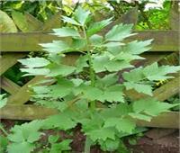 فوائد نبات الكاشم الرومي.. مضاد للحساسية ويحافط علي البشرة