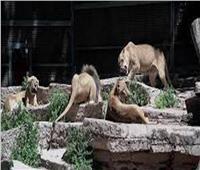 إصابة 9 أسود ونمور بكورونا في حديقة حيوانات فى أمريكا