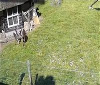«صقر» يحاول اختطاف دجاجة من مزرعة هولندية.. والحيوانات تنقذها | فيديو