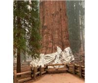 محاولات لإنقاذ أكبر شجرة في العالم من الحريق