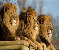 «أسود ونمور» حديقة حيوانات واشنطن تتعافى من فيروس كورونا