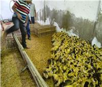 توزيع أكثر من 40 ألف بطة على المستفيدين بمشروع تربية البط بمراكز ومدن البحيرة