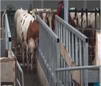 مزرعة أبقار عائمة فوق الماء بهولندا| فيديو