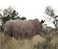 «روساتوم»: العلوم النووية نجحت في حماية وحيد القرن من الصيد الجائر