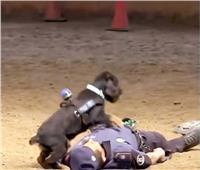 كلب يقوم بعملية إنعاش قلبي لإنقاذ مدرب| فيديو