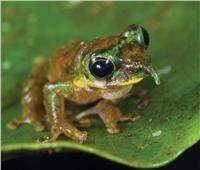 منها «ضفدع بينوكيو».. تعرف على أندر 4 حيوانات تم اكتشافها في العالم