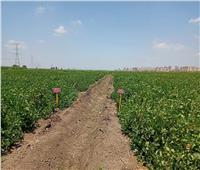 الزراعة: استنباط أصناف تقاوى جديدة من القمح والذرة والأرز