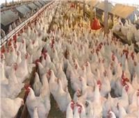 الثروة الداجنة تكشف الأسباب الخفية لارتفاع أسعار بيض المائدة