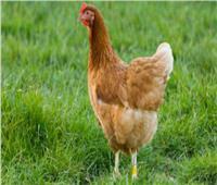 طباعة دجاجة «ثلاثية الأبعاد» وطبخها باستخدام الليزر.. تصلح للأكل   فيديو