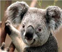 استراليا.. تطعيم 400 من دببة الكوالا ضد مرض جنسي قاتل