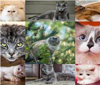 صور| أكثر القطط الكسولة حول العالم