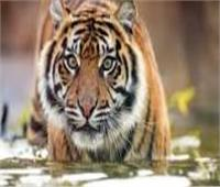 اصطياد نمر  نادر ونقله إلى محمية برية في إندونسيا