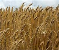 سكينة فؤاد: زراعة الشعير توفر 40% من حجم استيراد مصر للقمح