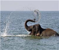 أنثى فيل تسحق تمساحًا حتى الموت بعدما هدد صغيرها| فيديو