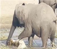 «أمومة فيل».. يفتك بتمساح شرس للدفاع عن صغاره| فيديو