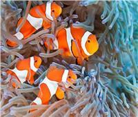 «المهرج» و«الفراشة».. أسماك يتميز بها البحر الأحمر | صور