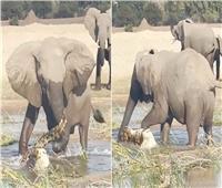 من أجل صغيرها.. أنثى فيل تنتقم من تمساح حتى الموت| فيديو