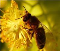«الزراعة»: مصر الأولى عالميًا في صادرات «طرود النحل»| خاص