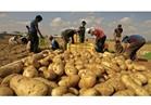 """""""الزراعة"""" تعلن رفع الحظر الأردني على استيراد البطاطس المصرية"""