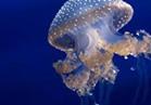 تعرف على فوائد »قنديل البحر«
