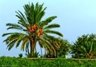 «الزراعة» تصدر نشرة توصيات فنية لمزارعي النخيل عن شهر أكتوبر