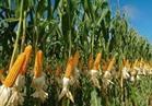 الزراعة: ٢.٨ مليون فدان منزرعة بالمحاصيل الصيفية حتى الآن
