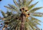 """""""الزراعة"""" تصدر نشرة توصيات فنية لأشجار النخيل خلال شهر أغسطس"""