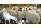 أسعار أضاحي العيد بمنافذ وزارة الزراعة