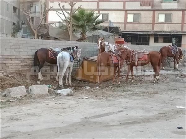 الخيول بمنطقة نزلة السمان
