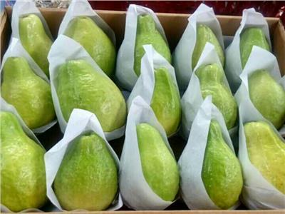 الجوافة المصرية