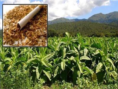 رد: معقولة شركة تبوك الزراعية تنتج التبغ ؟