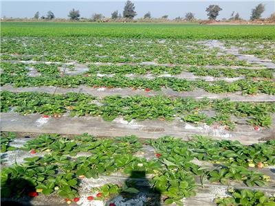 حملات مرور على زراعات «الفراولة» لتقديم النصائح للمزارعين
